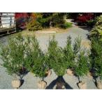 キンメツゲ 樹高80cm前後 10本セット