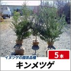 キンメツゲ 樹高80cm前後 5本セット イヌツゲの園芸品種 生垣