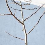 コブシ 単木 樹高2.0m前後 (根鉢含まず)