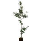 クロガネモチ 樹高1.8〜2.0m前後 (根鉢含まず)