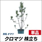 クロマツ 株立ち 樹高50〜70cm前後 単品