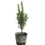 キャラボク 樹高20cm前後 単品 イチイの変種 生垣