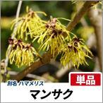 マンサク 樹高1.2m前後 単品 落葉樹 ハマメリス