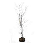 ミツバツツジ 株立ち 樹高1.2〜1.5m前後 (根鉢含まず)