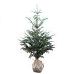 もみの木 (ウラジロモミ) 樹高1.2〜1.5m前後 (根鉢含まず)