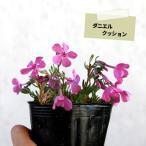 シバザクラ 芝桜 25ポットセット グランドカバー