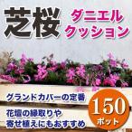 送料無料 シバザクラ 芝桜 ダニエルクッション 濃いピンク 150ポットセット グランドカバー