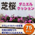 送料無料 シバザクラ 芝桜 ダニエルクッション 濃いピンク 75ポットセット グランドカバー