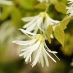 トキワマンサク 樹高1.0〜1.2m前後 赤花・白花 2本セット