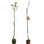 サクランボ 佐藤錦・ナポレオン 樹高80cm前後 交配品種2本セット