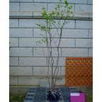 ナツハゼ 株立ち 樹高1.5〜1.8m前後 (根鉢含まず)