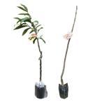 栗 ポロタン ・ 利平(リヘイ) 樹高80cm前後 交配品種2本セット 果樹