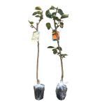 柿 太秋 (タイシュウ)・禅寺丸 (ゼンジマル) 樹高80cm前後 受粉樹2本セット