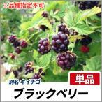 ブラックベリー (品種指定不可) ポット苗 単品