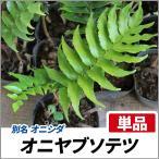 オニヤブソテツ 単品 常緑 多年草 観葉植物