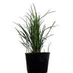 リュウノヒゲ 25ポットセット グランドカバー 丈夫な常緑多年草