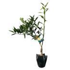 キンカン ぷちまる 樹高30cm前後 3本セット