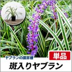 フイリヤブラン 単品 常緑 多年草 グランドカバー 下草
