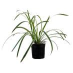 フイリヤブラン 24ポットセット 常緑 多年草 グランドカバー 下草