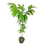 クリ 柴栗 (シバグリ) 樹高60cm前後 10本セット