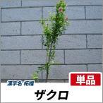 ザクロ 樹高1.2〜1.5m前後 (根鉢含まず) 単品