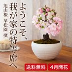 somurie_bonsai-001