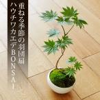 ミニ盆栽 ハウチワカエデ 盆栽(bonsai ボンサイ) 翠松園 撰*bonsai_013*