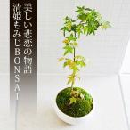 ミニ盆栽 清姫もみじ 盆栽(bonsai ボンサイ) 翠松園 撰*bonsai_018*