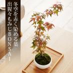 ミニ盆栽 出猩々もみじ 盆栽(bonsai ボンサイ) 翠松園 撰*bonsai_019*
