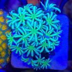 日本初!UCAFrag! 【Austraria  UCA】人気のフラグ♪ オーストラリア産 クダサンゴ パイプコーラル Cyphastrea sp