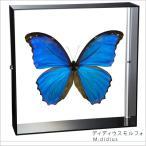 蝶の標本 ディディウスモルフォ Morpho didius モルフォチョウ アクリルフレーム 黒