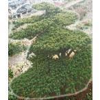 当園引き渡し 松の木 五葉松 常緑針葉樹 樹齢50年以上