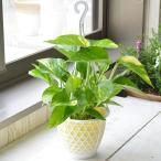 観葉植物 ポトス 40cm