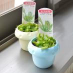 食虫植物 ハエトリ草 2ポットセット