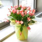 鉢花 シャコバサボテン 6寸プラスチック鉢