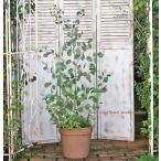 ユーカリとハーブ鉢植え ユーカリポポラス&オレガノ&ローズマリー ナチュラルテラコッタ140cm
