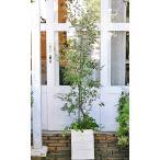 ハーブと花寄せ植え ロシアンオリーブ&オレガノ・ケントビューティー&ワイルドストロベリー ナチュラルテラコッタ調鉢168cm