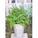 観葉植物寄せ植え おしゃれ フレボディウム・ブルースター&斑入りアジアンタム・スノーフレーク シンプルブリキポット60cm 新築御祝 ギフト