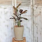 観葉植物 カラテア・サンデリアーナ ナチュラルテラコッタ受皿付き 開店祝い新築祝い プレゼント ギフト
