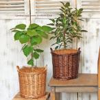観葉植物 フィカス・ルビギノーサ(フランスゴムの木) ナチュラルバスケットdarkbrown 新築お祝い インテリアグリーン