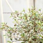 花苗 常緑低木 ロフォミルタス・マジックドラゴン 3号ポット