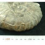 北海道アンモナイト;Anagaudryceras limatum,アナゴードリセラス・リマータムh1004