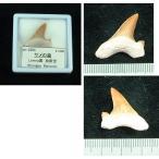 サメの歯化石2204
