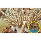 アデニウム・アラビカム 'ホワイト・ジャイアント'(ADENIUM ARABICUM 'WHITE GIANT')の種子