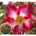 アデニウム・オベスム・ダンシングクイーン(ADENIUM OBESUM DancingQueen)の種子