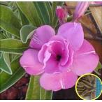 アデニウム・オベスム・ダブル・デライト(ADENIUM OBESUM Double-Delight)の種子