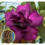 アデニウム・オベスム・ダブルバイオレット(ADENIUM OBESUM doubleviolet)の種子