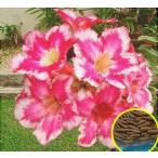 アデニウム・オベスム・ファイヤーオブラブ(愛の炎)(ADENIUM OBESUM FireOfLove)の種子