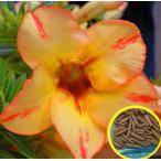 アデニウム・オベスム・ゴールドキング(ADENIUM OBESUM GoldKing)の種子