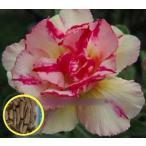 アデニウム・オベスム・ピンクゴールド(ADENIUM OBESUM Pinkgold)の種子